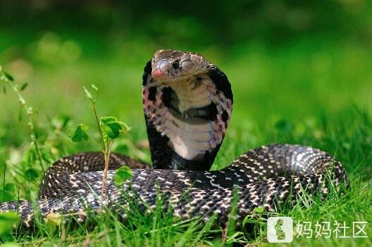 连续两个晚上梦到眼镜蛇和大蟒蛇咬我,有啥寓意吗?